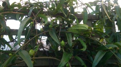 Swelling buds of Clematis Armandii