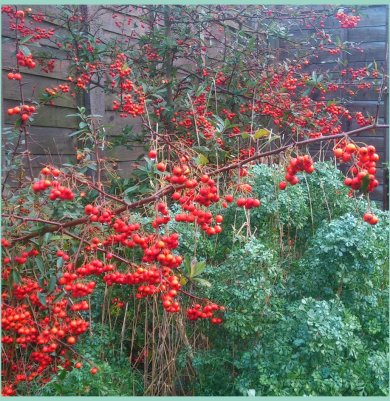 Deep orange Pyracantha berries against blue-green Rue foliage
