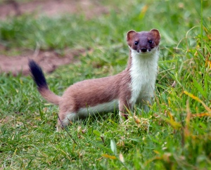 stoat-wallpapers-4